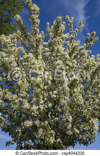 Crabapple Tree With White Flowers In Full Bloom Photo Of Crabapple
