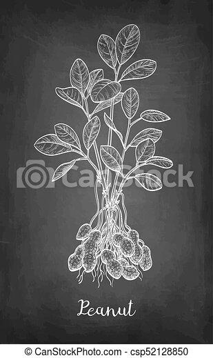 Craie Arachide Croquis Plant