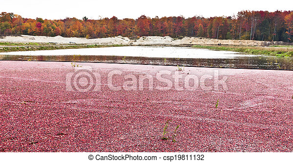 Cranberries in Marsh for Harvest - csp19811132