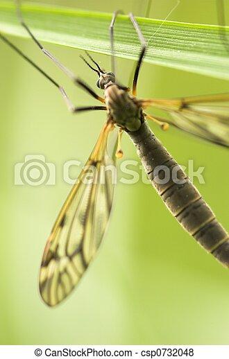 Cranefly (female) - csp0732048