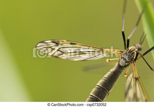Cranefly - csp0732052