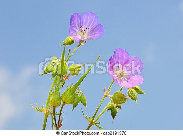 Cranesbill (Geranium) - csp2191370