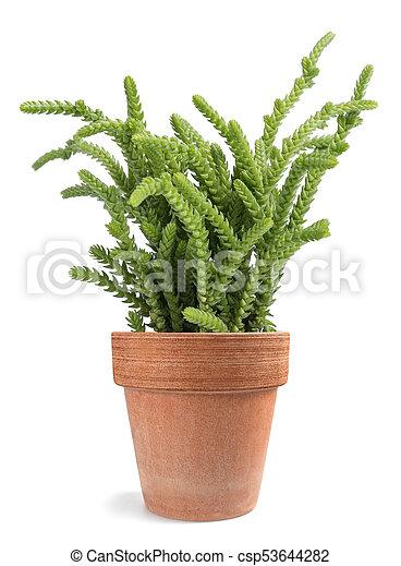 Crassula Muscosa Lycopodioides Plant In Vase Isolated On White