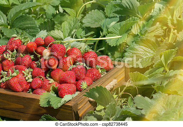 Crate full of strawberries in the field - csp82738445