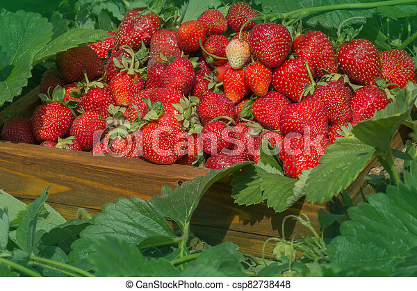 Crate full of strawberries in the field - csp82738448
