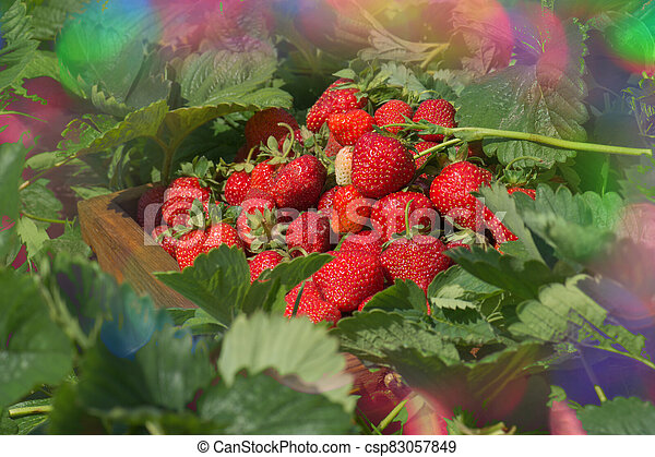 Crate full of strawberries in the field - csp83057849