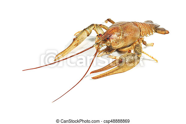 Crayfish close up isolated on white background - csp48888869