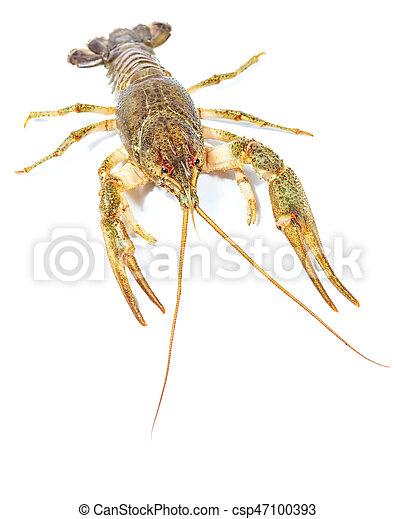 Crayfish close up isolated on white background - csp47100393