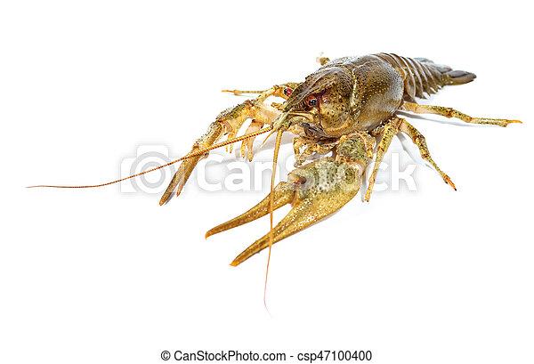 Crayfish close up isolated on white background - csp47100400