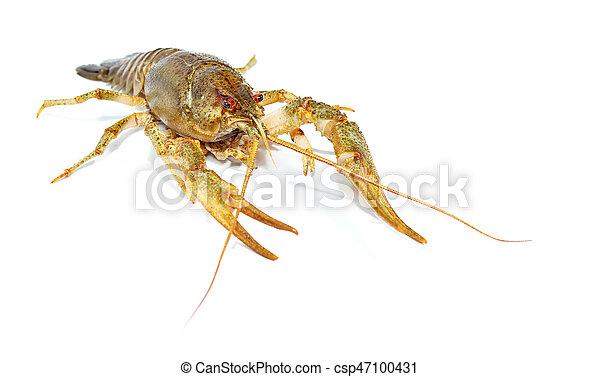 Crayfish close up isolated on white background - csp47100431