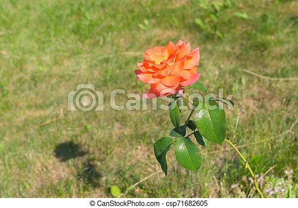 Cream rose in the summer garden - csp71682605