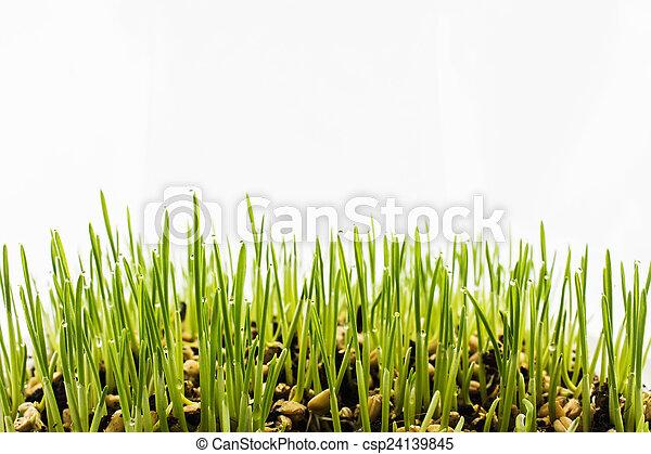 Semilla creciendo aislada en el fondo blanco - csp24139845