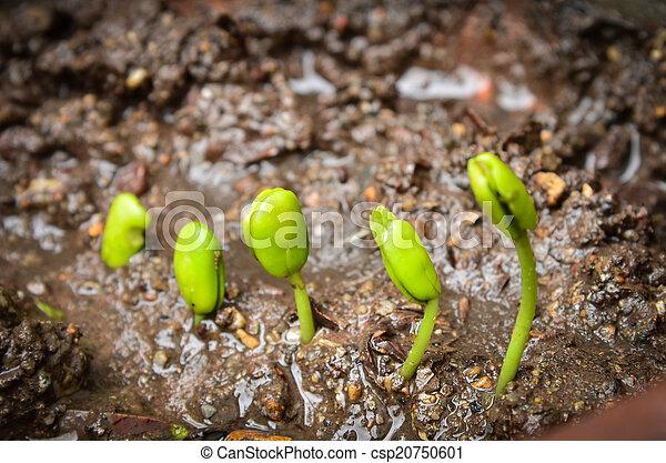 crecer, paso, sprout., tamarindo - csp20750601
