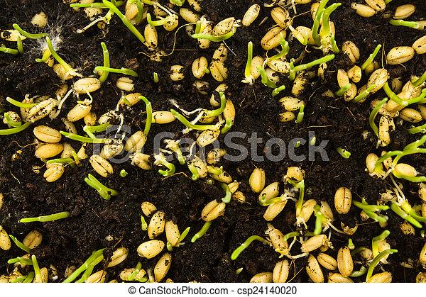 Semilla creciendo - csp24140020
