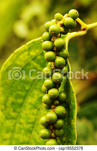 Pimientas verdes creciendo en la plantación - csp18552378