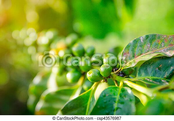 crecer, primer plano, café, bayas, ramas - csp43576987