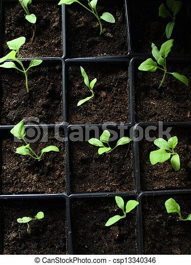 Semillas verdes creciendo en el suelo - csp13340346