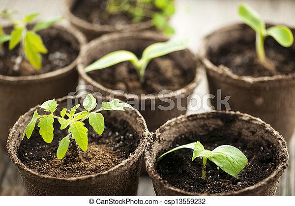 Semillas creciendo en ollas de musgo - csp13559232
