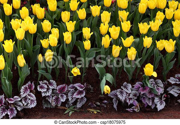 Los tulipanes son adultos y exquisitos. Parks - csp18075975