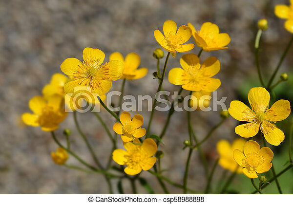 Creeping Buttercup Yellow Flowers Latin Name Ranunculus Repens
