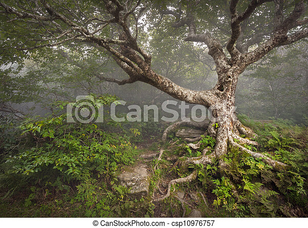Creepy Fairytale Tree Spooky Forest Fog Appalachian NC Fantasy Landscape at Craggy Gardens in the Blue Ridge Mountains near Asheville North Carolina - csp10976757