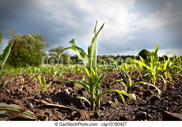 crescendo, campo, milho, jovem - csp10180427