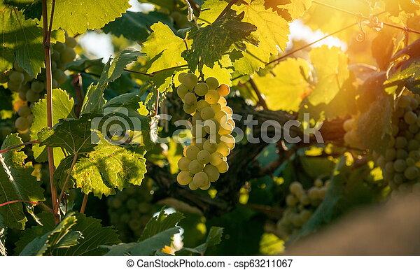 crescendo, uvas, luz solar - csp63211067