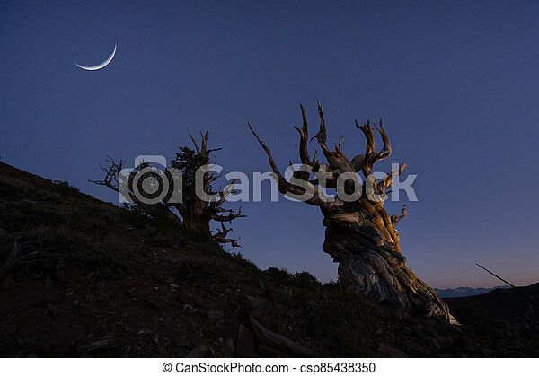 Crescent moon and stars over Ancient Bristlecone Pine Trees - csp85438350