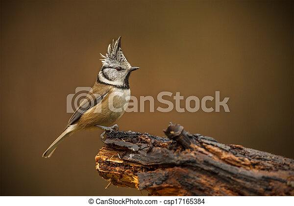 Crested tit in the forest - csp17165384