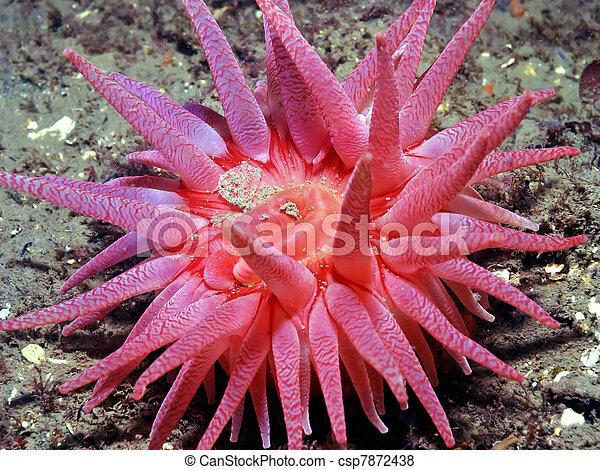 Crimson Anemone (Cribrinopsis ferna - csp7872438