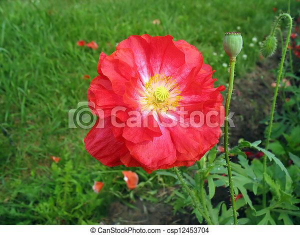 Crimson double poppy flower crimson poppy flower against stock crimson double poppy flower csp12453704 mightylinksfo