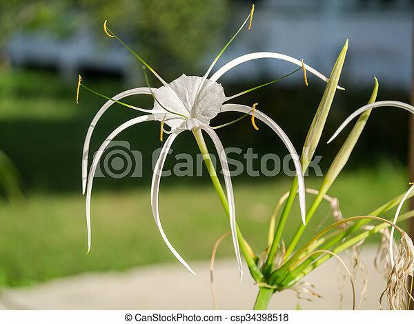 crinum lily cape lily poison bulb spider lily crinum lily cape
