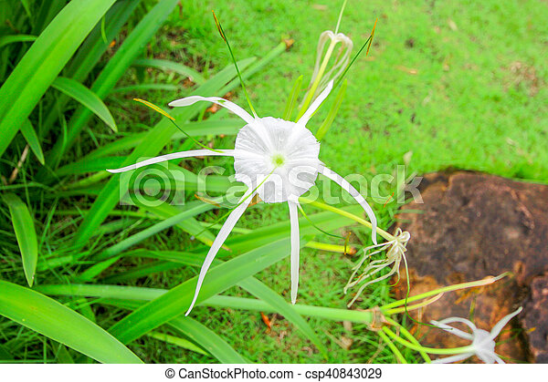 crinum lily cape lily poison bulb spider lily
