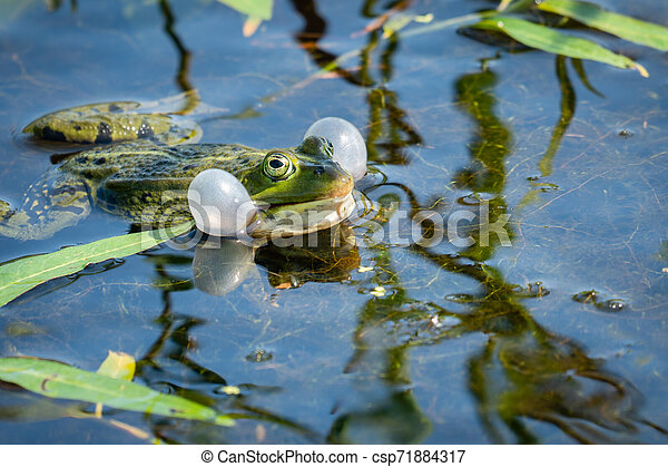 Croaking green frog in the water - csp71884317