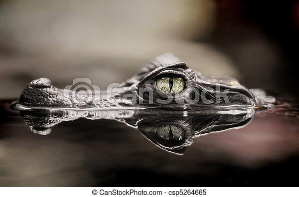 Crocodile - csp5264665