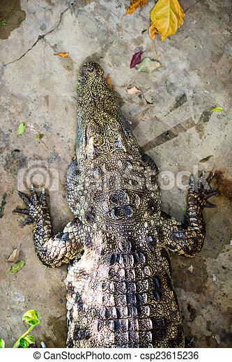 crocodile - csp23615236