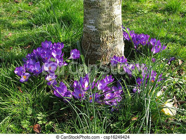 Crocus Flowers - csp16249424
