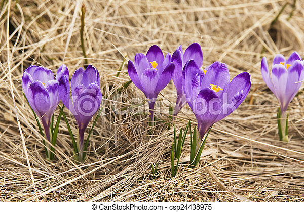 Crocus on a meadow in spring - csp24438975