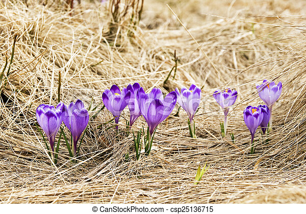 Crocus on a meadow in spring - csp25136715