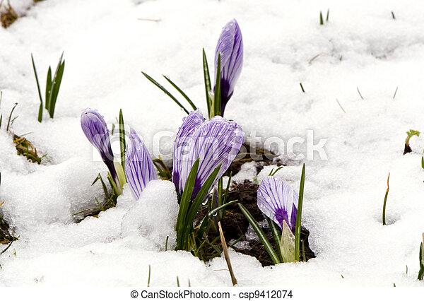 Crocus saffron violet blooms spring flowers snow crocus saffron crocus saffron violet blooms spring flowers snow csp9412074 mightylinksfo