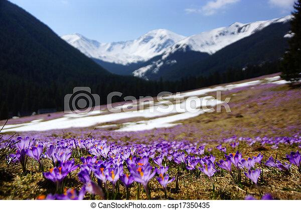 crocuses, tatras, polonia, valle, chocholowska, montagna - csp17350435