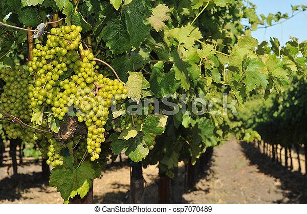 Champ De Vigne croissant, champ, vigne, raisins, vin. mûre, vigne, pas, field