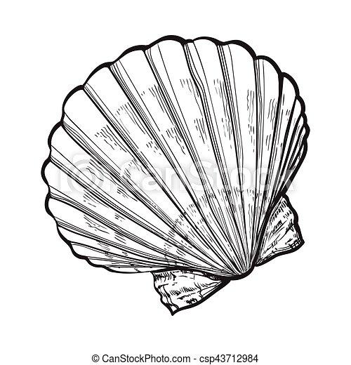 Croquis style illustration isol noix saint jacques - Coquille saint jacques dessin ...
