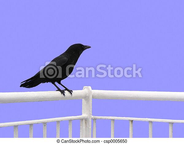 Crow (isolated) - csp0005650