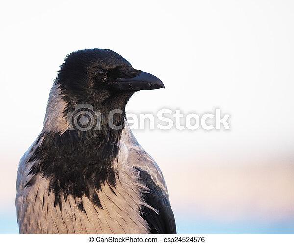 crow - csp24524576