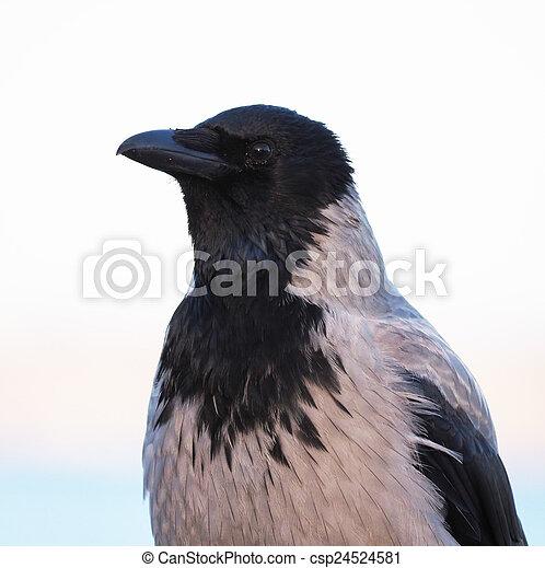 crow - csp24524581