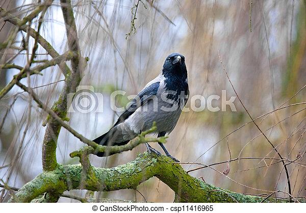 Crow - csp11416965