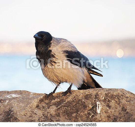 crow - csp24524565