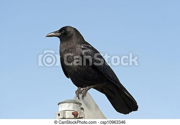 Crow - csp10963346