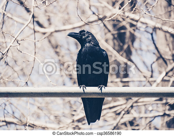 crow - csp36586190